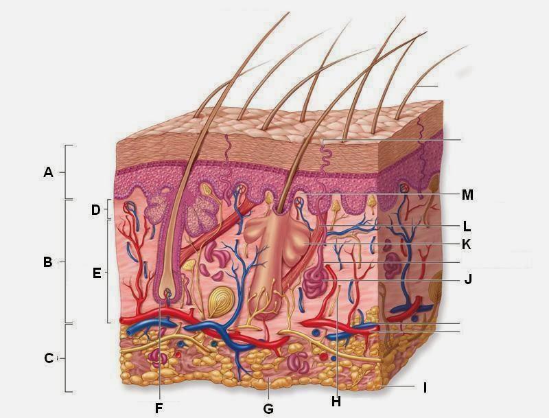 Skin Diagram Thinglink