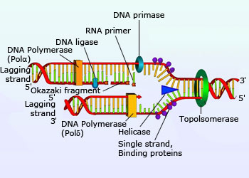 Dna replication thinglink ccuart Images