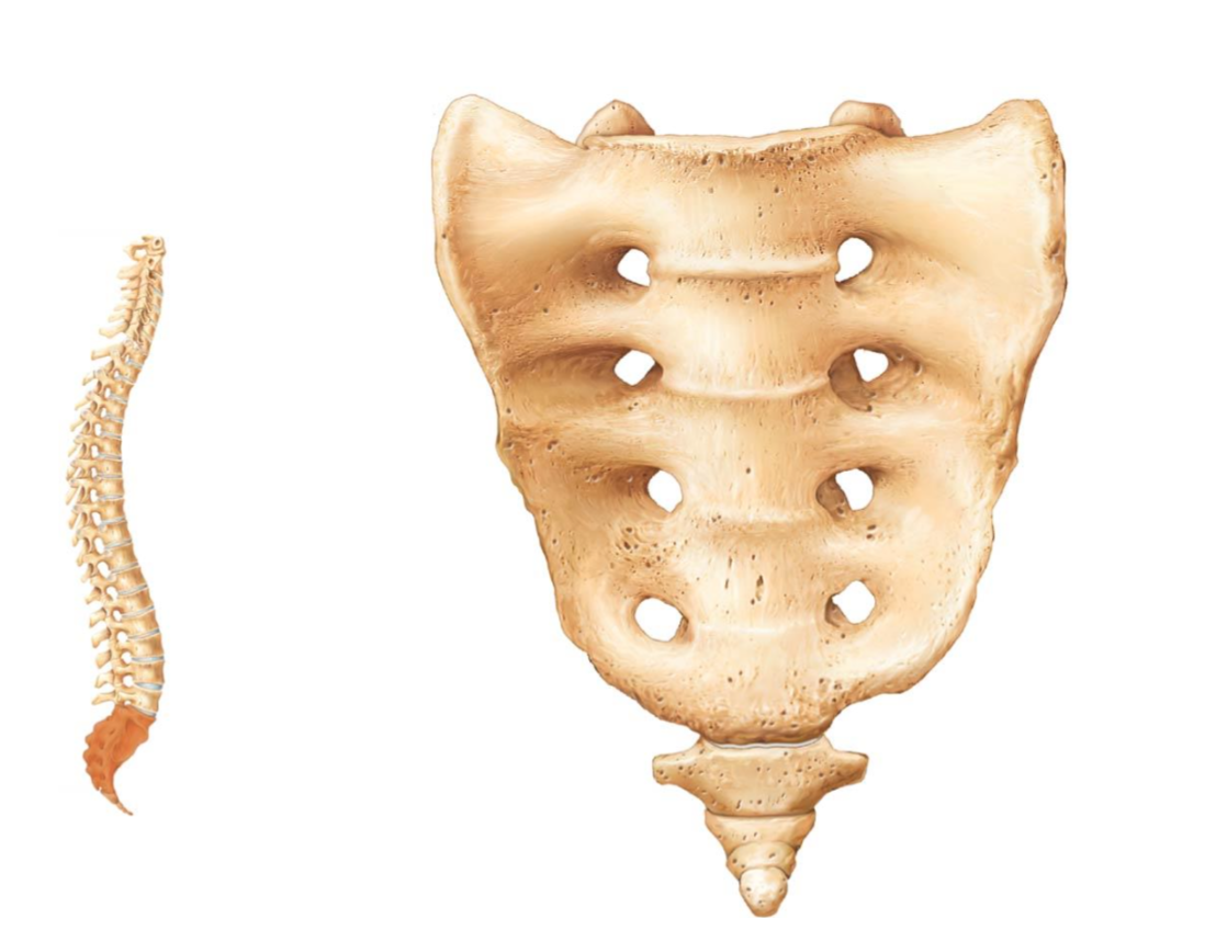 Sacrum And Coccyx Figure 722