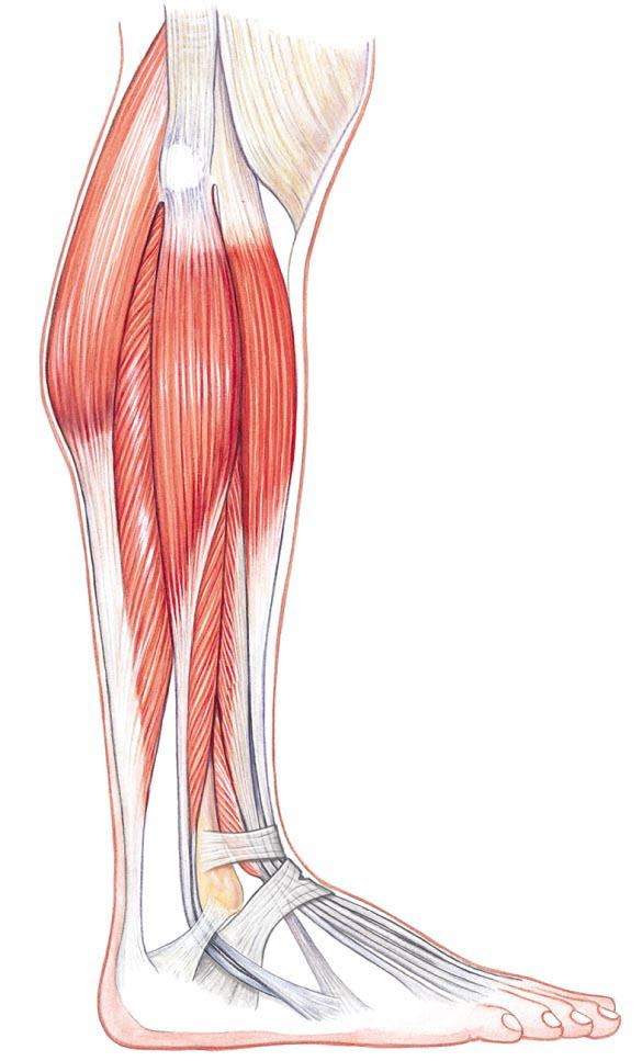 Lateral Leg Anatomy