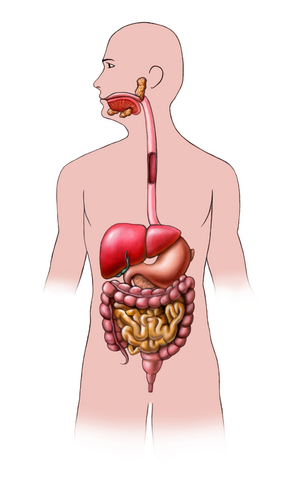 Digestive system without labels clip art 86662 enews digestive system without labels clip art ccuart Image collections