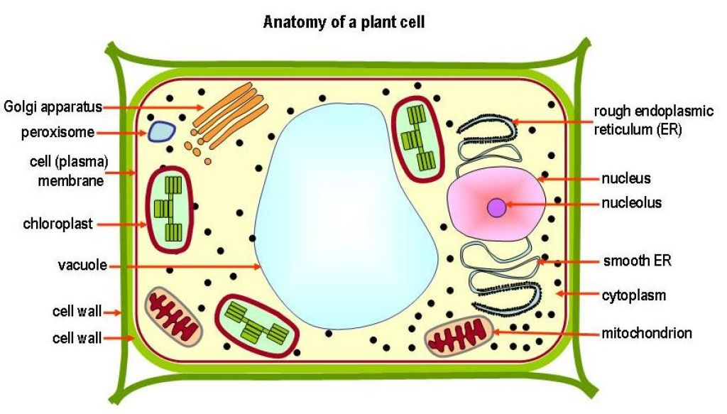 Anatomy of a Plant Cell