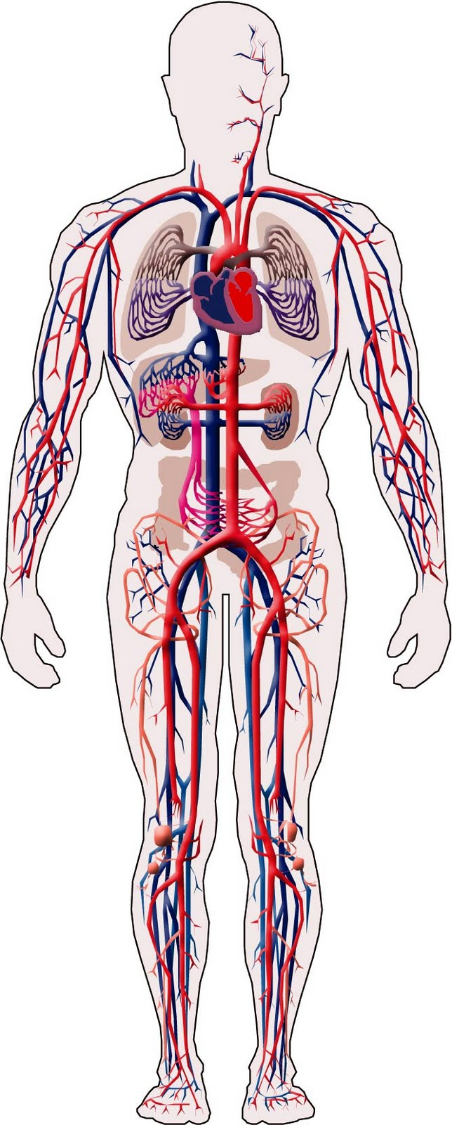 Circuito Vascular : Aparato cardiocirculatorio thinglink