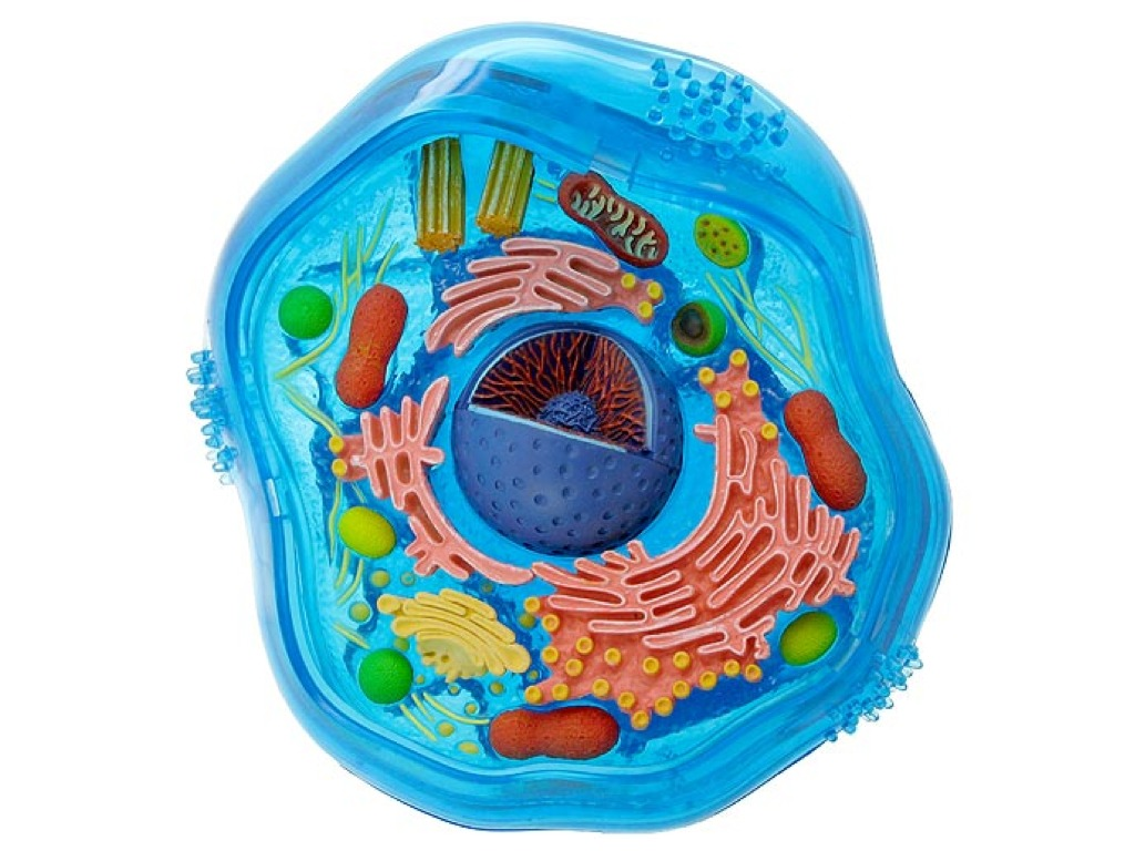 Как сделать клетку из пластилина по биологии