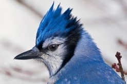 another name blue jays have is cyanocitta cristata