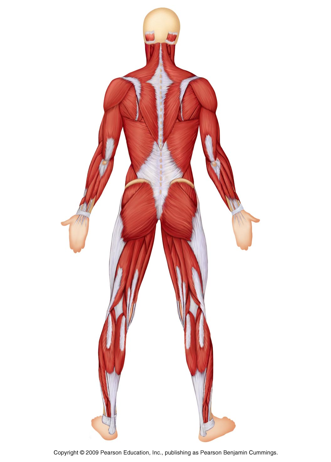 Investigating The Muscular System Back Thinglink