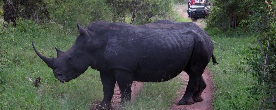 næsehorn hastighed