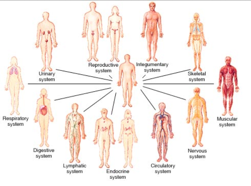 How Does Diabetes And Obesity Affect The Human Body Systems
