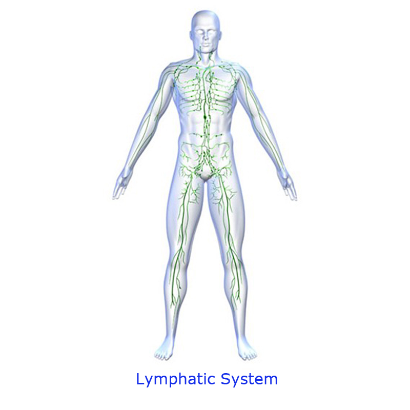 Lymphatic System - ThingLink