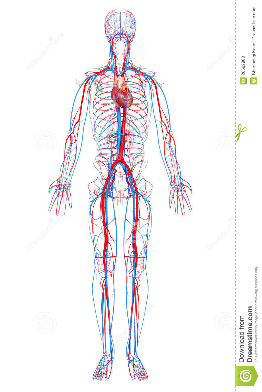 Gianna L The Circulatory System Thinglink