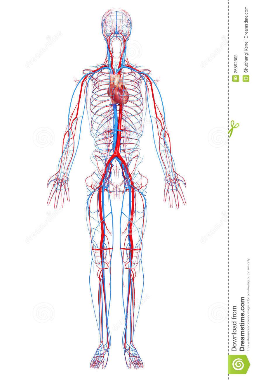 Gianna L The Circulatory System