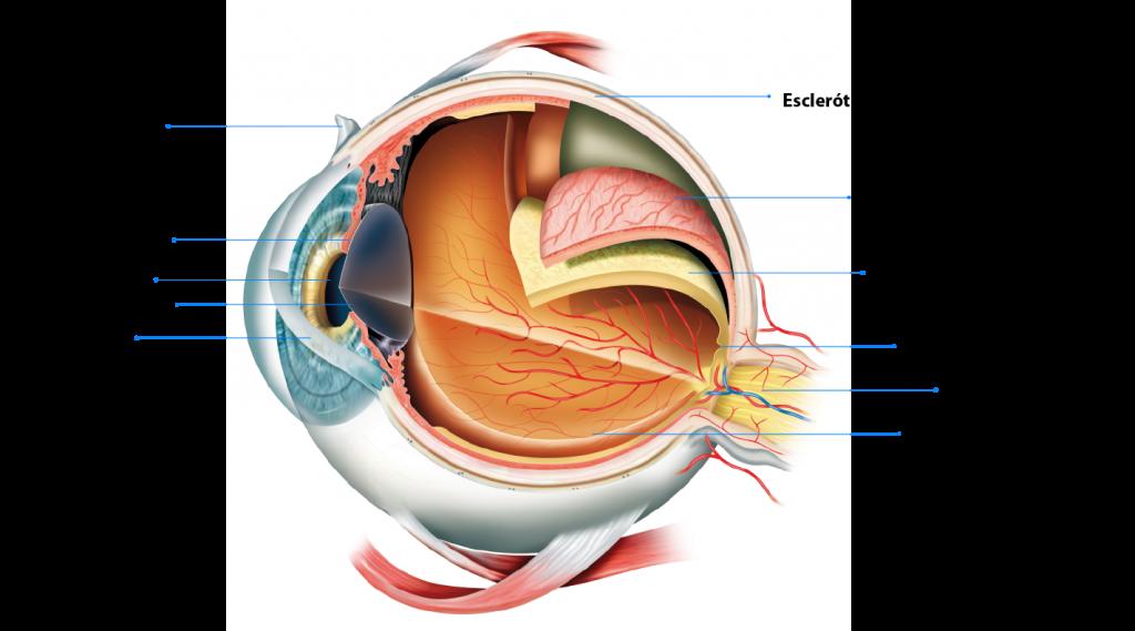 Hermosa Anatomía Del Ojo Wiki Friso - Anatomía de Las Imágenesdel ...