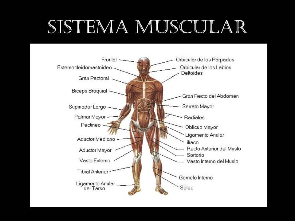Asombroso Diagrama De Sistema Muscular Humana Bosquejo - Anatomía de ...