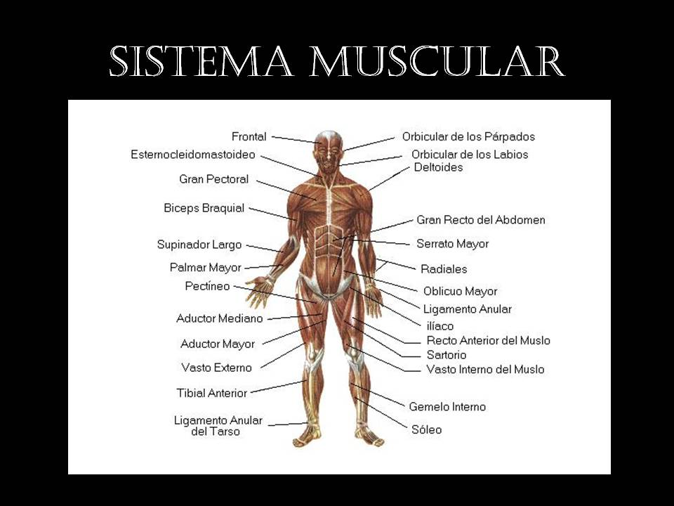 EL SISTEMA MUSCULAR - ThingLink