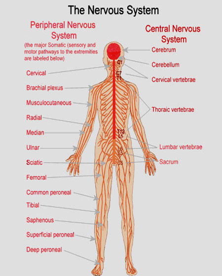 The central nervous system consists of the brain and spin...