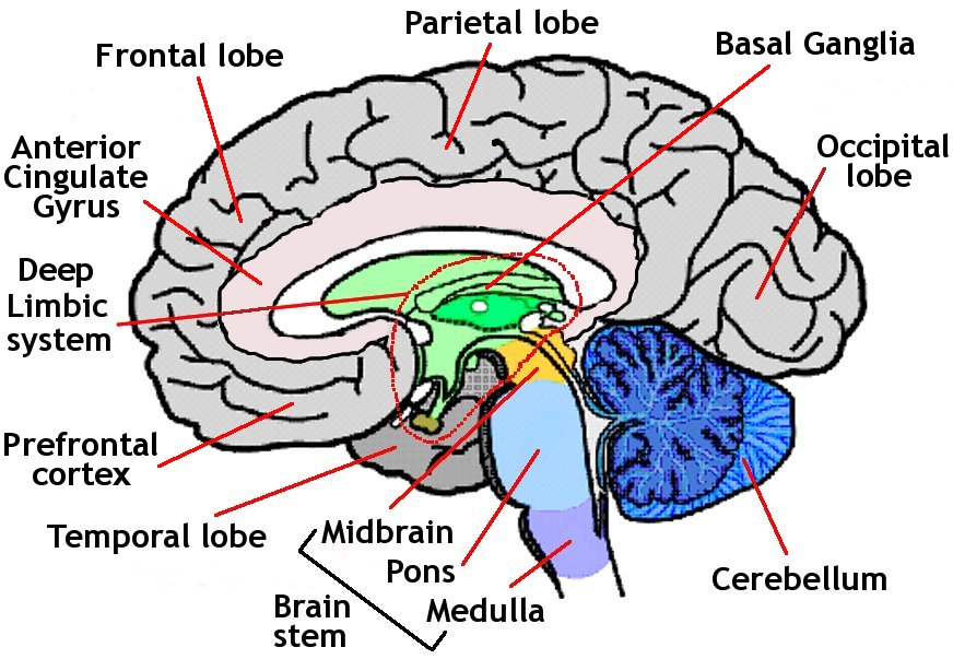 Brain anatomy everyone needs to know thinglink ccuart Images