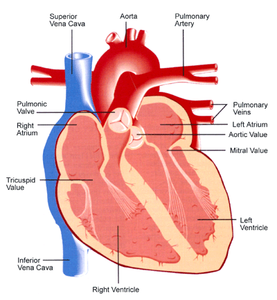 Tricuspid Valve Function Anatomy Location Human An