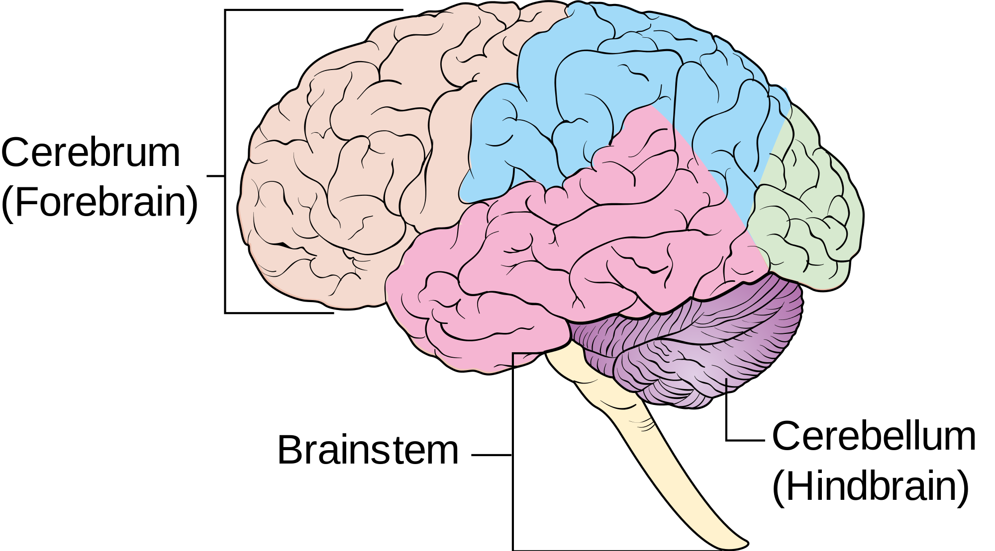 The brain stem is the smallest part of the brain. It is 3 ...