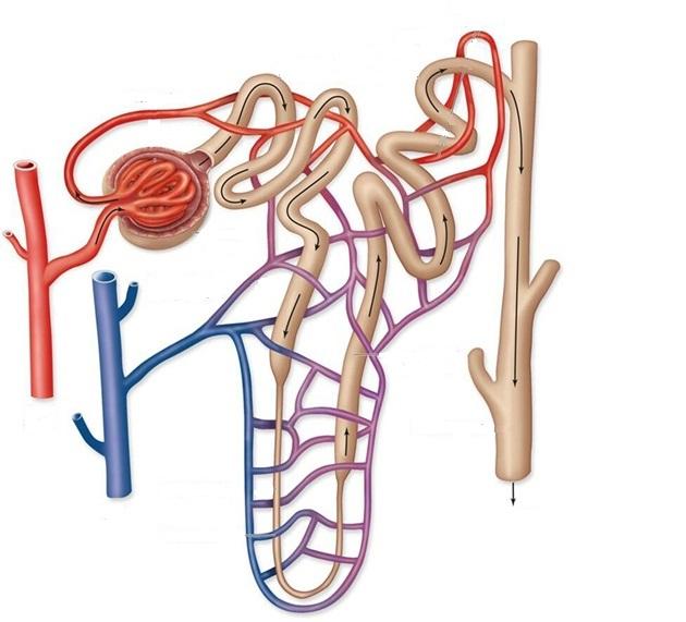 Afferent Arteriole Efferent Arteriole Glomerulus Bo