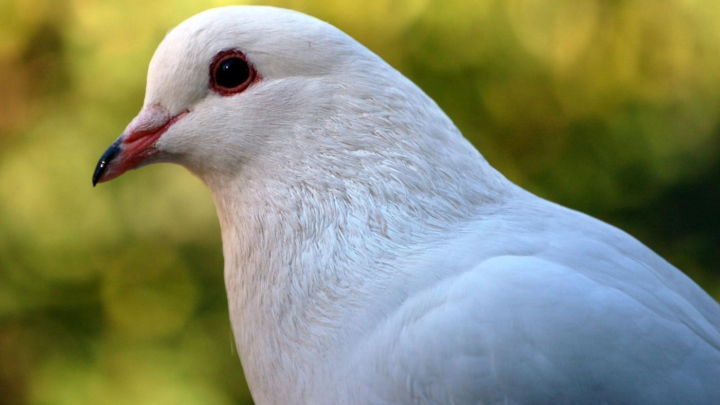 Pigeon Animal Project