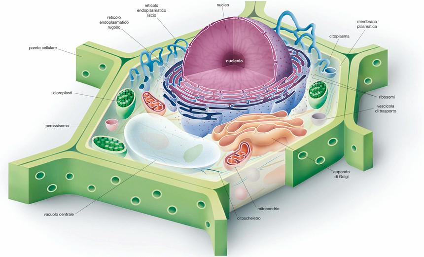 Cellule animali e vegetali in tre dimensioni