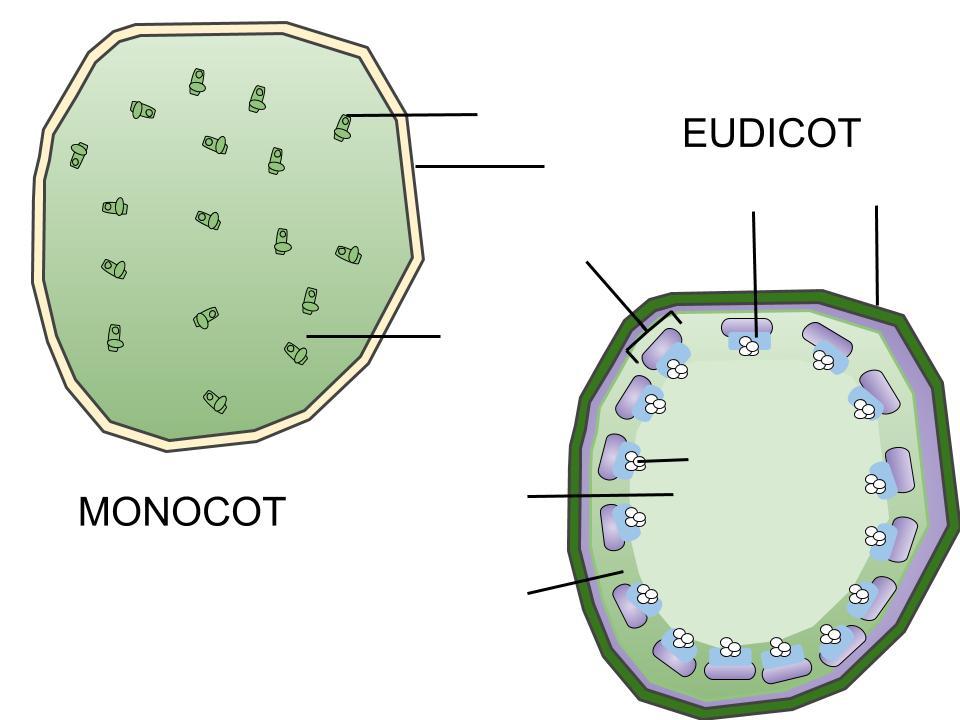 Eudicot and Monocot Stem Anatomy - ThingLink