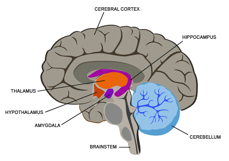 Internal Brain Parts