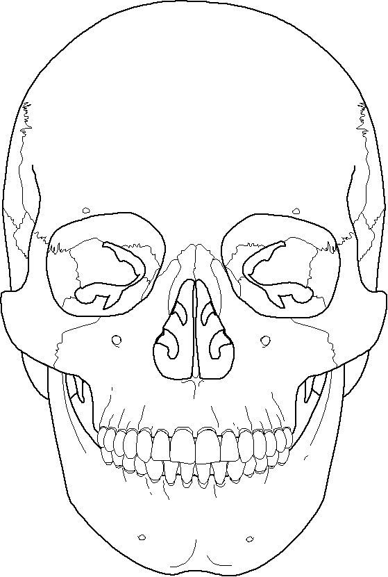 Frontal Bone Coronal Suture Maxilla Mandible Zygomati