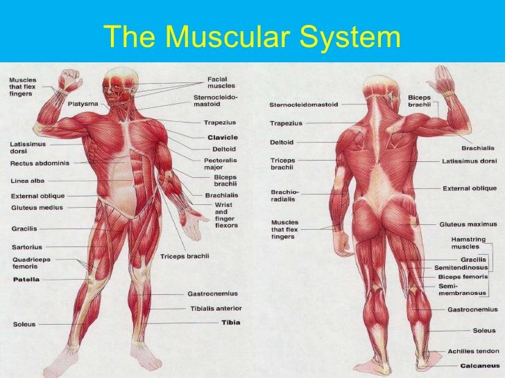 muscle system – slushtokyo,