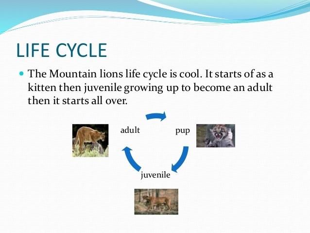 100+ Diagram Life Cycle Of A Lion Lion – yasminroohi