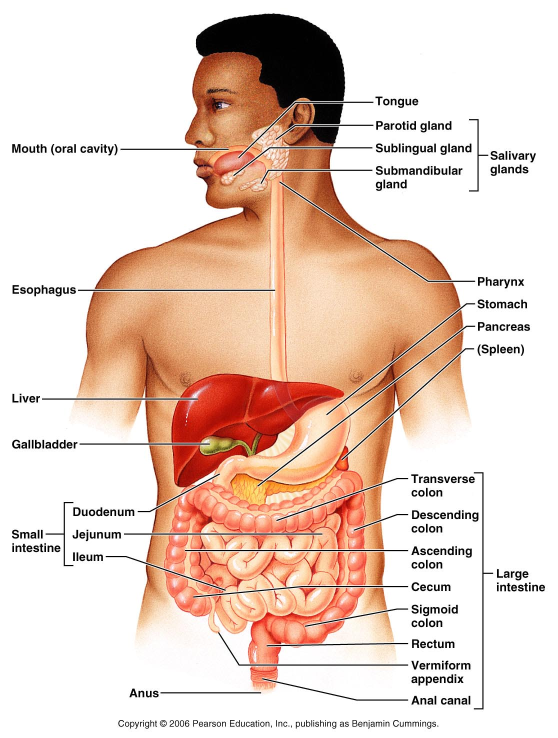 The Purpose Of The Digestive System Is To Turn The Food Y