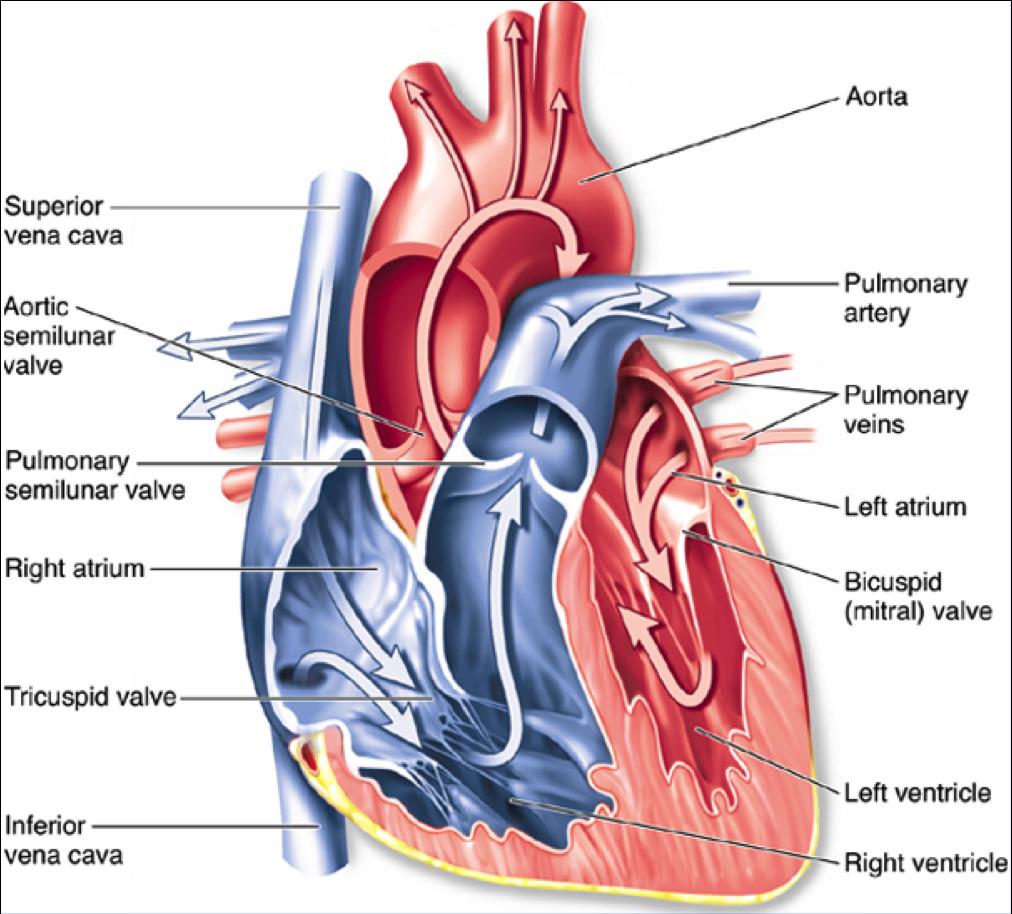 Ausgezeichnet Anatomy And Physiology The Heart Fotos - Menschliche ...