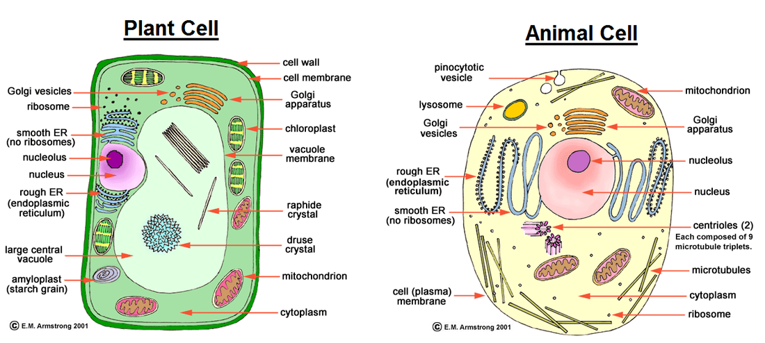 Plant And Animal Cell Thinglink