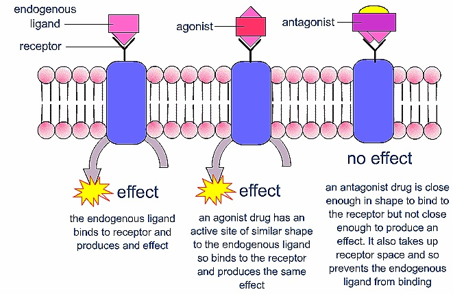 drugs agonist and antagonist Irreversible antagonist drugs bind the receptor and remain tightly associated to prevent the binding of other chemicals, while reversible antagonists readily dissociate from their receptor agonist and antagonist drugs can both be bound to the same receptor, but the antagonist drug binding reduces or prevents the unction of the agonist drug.