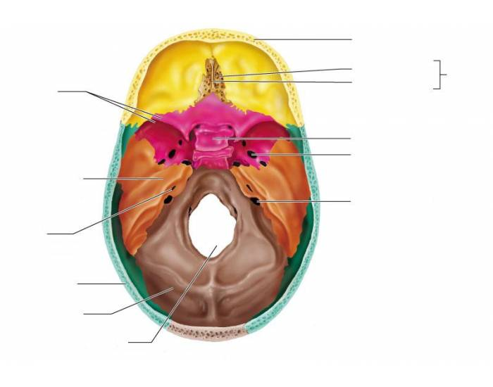 Foramen Magnum Occipital Bone Hypophyseal Fossa Crista Thinglink