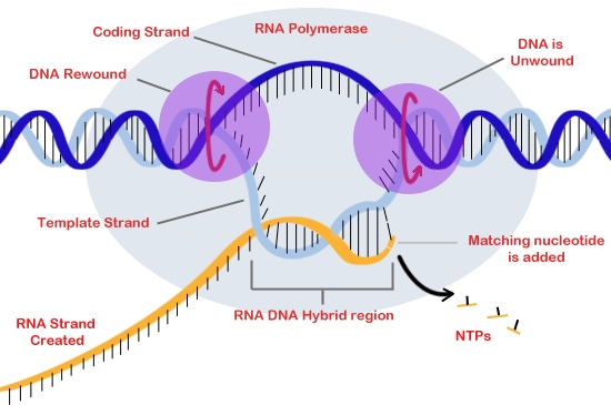Dna to protein for Template definition biology