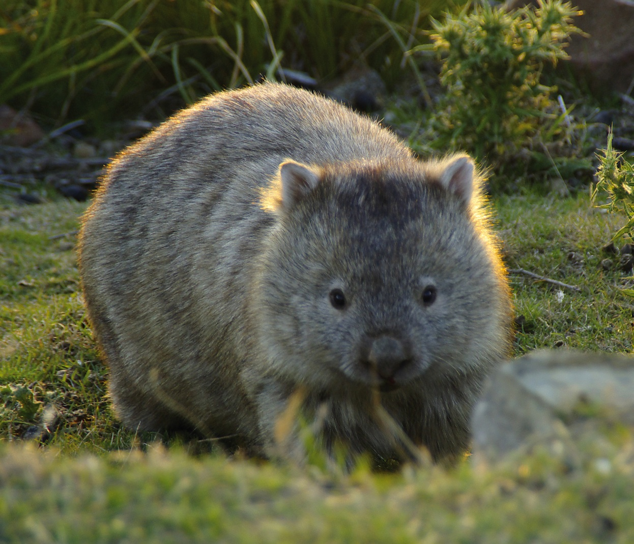 wombats Do wombats live in family groups no, bare-nosed wombats (the common wombat) are solitary and don't like to share their burrows they will tolerate other wombats to a point but unlike their cousins, the southern hairy-nosed wombat, bare-nosed wombats prefer their own space and burrow.