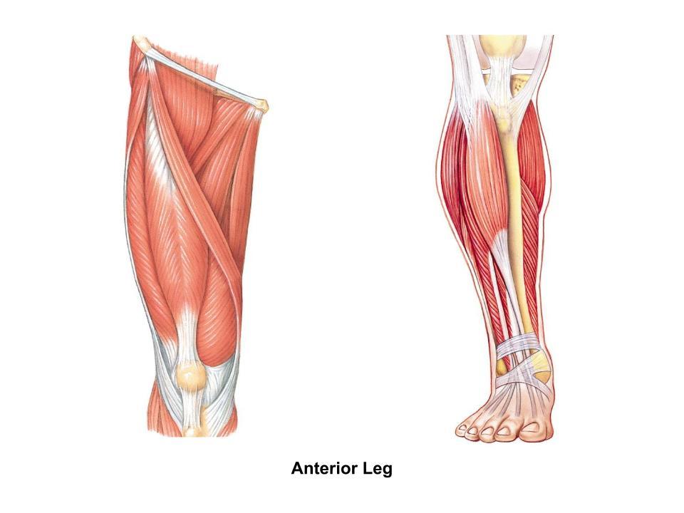 Rectus Femoris Origin: Anterior Inferior iliac spine and ... - ThingLink