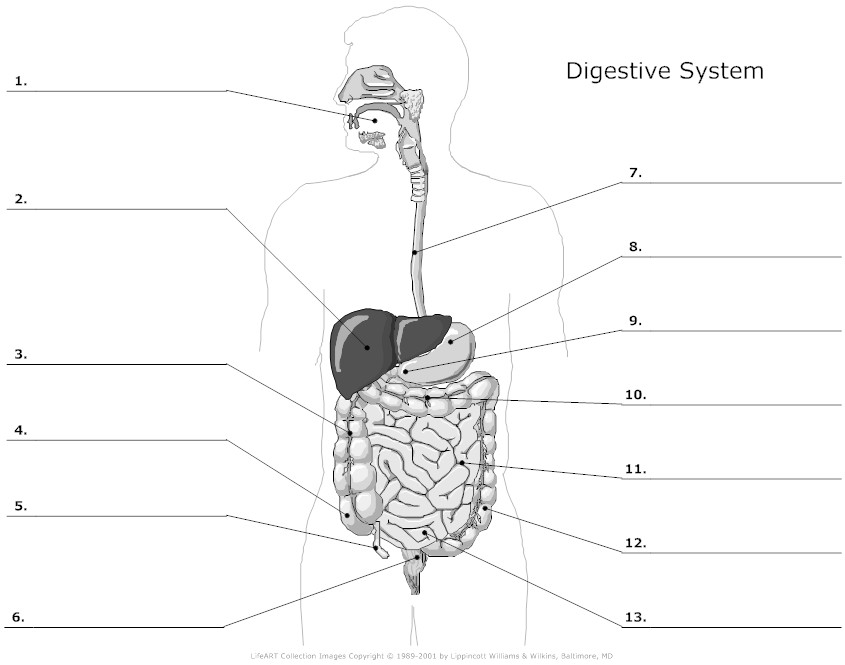 35 Label Diagram Of The Digestive System