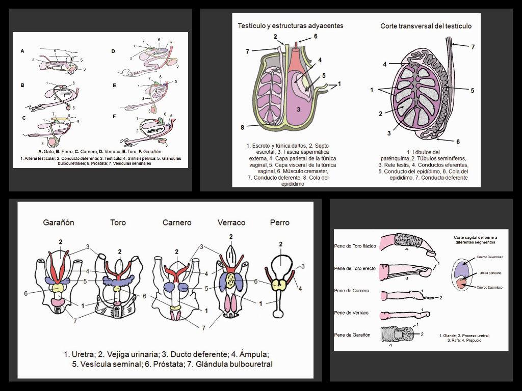Anatomía reproductiva de los machos - ThingLink