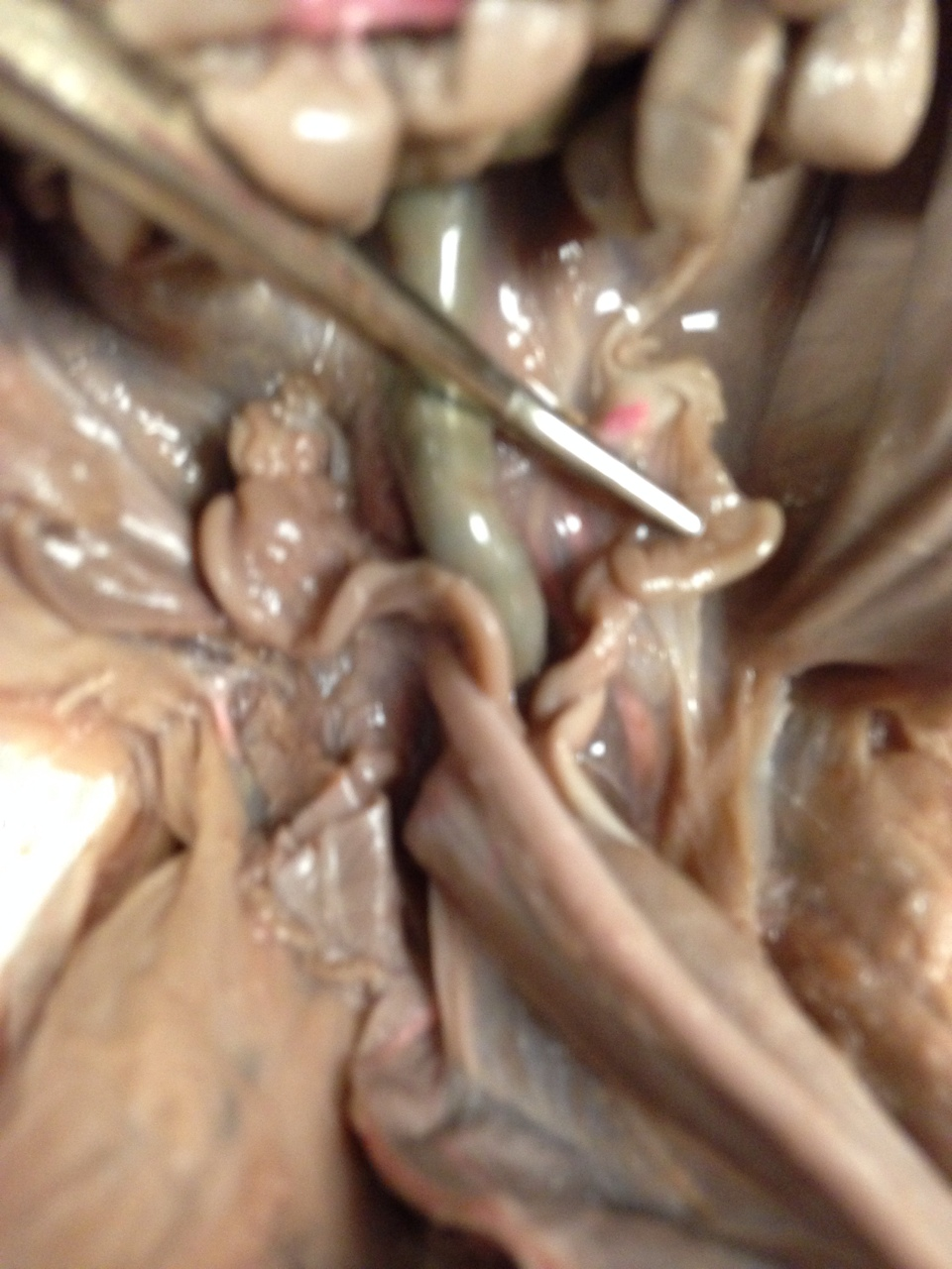 Fetal Pig Structure: Female Reproductive System - ThingLink
