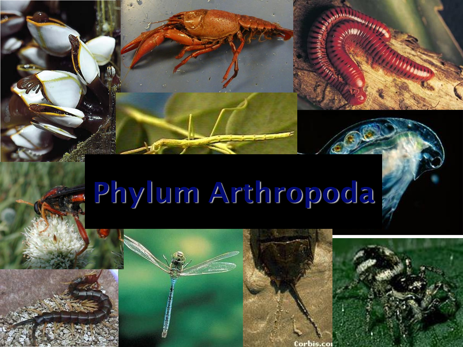phylum anthropoda The phylum arthropoda is huge in terms of both numbers of species and in terms of numbers of most of the invertebrates you encounter during your life will be arthropods.