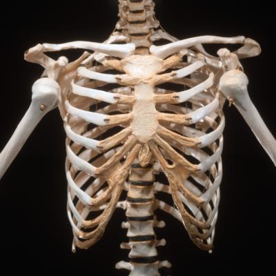 rib cage - thinglink, Skeleton