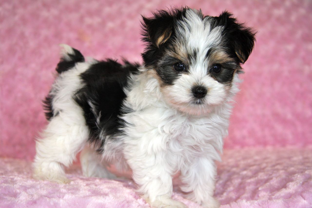 A Morkie Puppy Is A Mechanical Because A Mechanical Can H