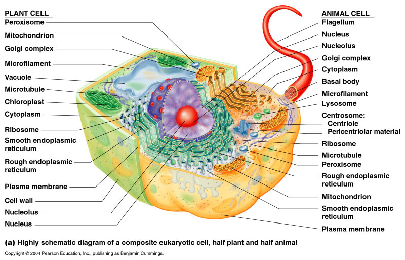Eukaryotic cell diagram thinglink sciox Images