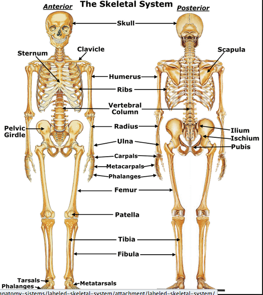Skeletal System - ThingLink