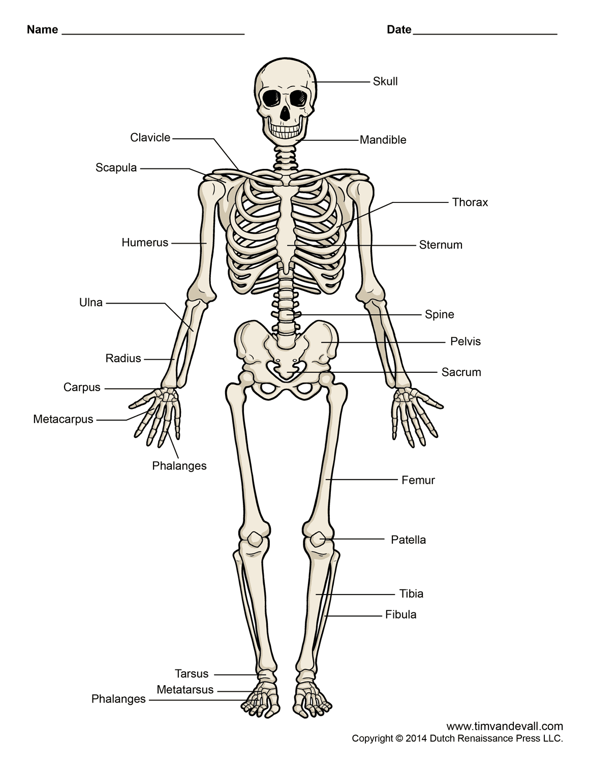 Copy Of The Skeletal System