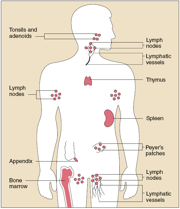 The Gross Structure Of The Immune And Lymphatic System