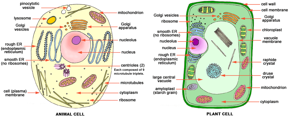 Animal Cells And Plant Cells Edwin Gomez Thinglink