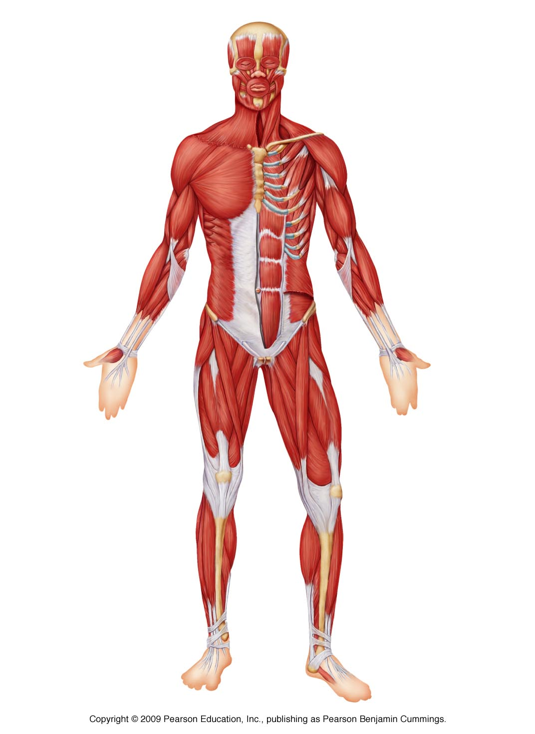 The Muscular system - ThingLink